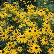 Rudbeckia fulgida ''Goldsturm'' - Golden Cone Flower - Black Eyed Susan