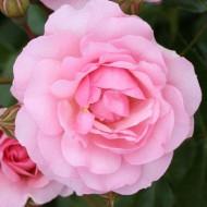 Rose Happy Retirement - Floribunda Rose