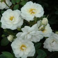 Rose Avon - Ground Cover Rose