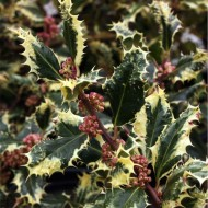 Ilex aquifolium Ferox Argentea - Silver Hedgehog Holly - LARGE
