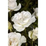 Rose Margaret Merril - Floribunda Rose