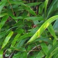 Indocalamus Tesselatus - Bamboo