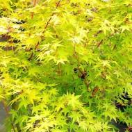 Acer palmatum Ueno Yama - 100-140cms Japanese Maple