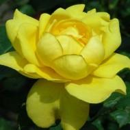 Rose Mountbatten - Floribunda Rose