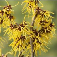Hamamelis x intermedia Westerstede - Chinese Witch Hazel - Large Specimen