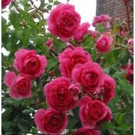 Large 6-7ft Specimen Climbing Rose - Rose Parade