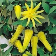Passion Flower Citrina - Rare Yellow Passiflora
