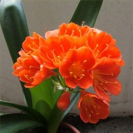 Large Clivia Plant in Bud & Bursting in to Flower