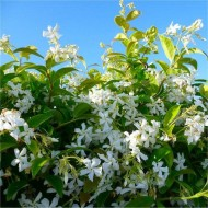 Star Jasmin - Fragrant Evergreen Trachelospermum Climber Pyramid