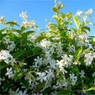 Star Jasmin - Fragrant Evergreen Trachelospermum Climber - 80-100cms