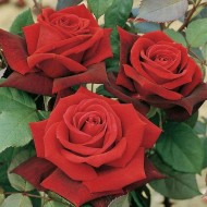 Rose Deep Secret - Hybrid Tea Bush Rose