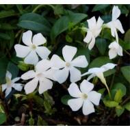 Vinca minor alba - WHITE Lesser Periwinkle Plant