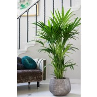 Howea forsteriana - KENTIA PALM - The best palm for indoors - Large 140-160cm Specimen