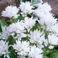 Campanula glomerata alba - White Clustered Bell Flower