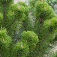Pinus mugo Mughus - Dwarf Mountain Mugho Pine