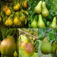 PEAR TREE - Multi-Variety Fruit Tree - PEAR - 5 varieties on one Tree!
