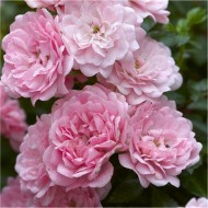 Rose The Fairy - Floribunda Ground cover Rose