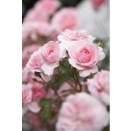 Rose Bonica - Floribunda Shrub Rose