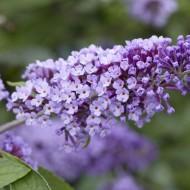 Buddleja Flutterby Flow - Lavender Flow Butterfly Bush Buddleja