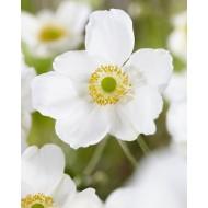 Anemone Honorine Jobert - Japanese Anemone in Bud & Bloom