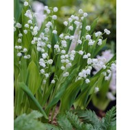 Convallaria - Lily of the Valley - Pack of TEN