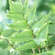 Cyrtomium fortunei - Evergreen Fern