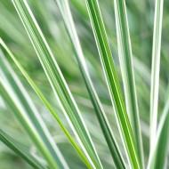 Calamagrostis acutiflora 'Overdam' - Feather Reed Grass