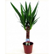 Indoor Yucca Tree - Perfect to Brighten up the Home
