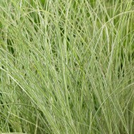 Miscanthus sinensis Morning Light - Japanese Silver Grass