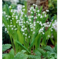 BULK PACK - Lily of the Valley - Convallaria majalis - Pack of 10 Plants