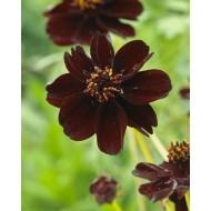 Cosmos atrosanguinea ''Chocolate'' - atrosanguineus Chocolate Cosmos Plant