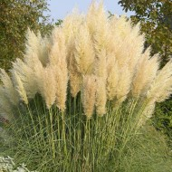 Dwarf Pampas Grass - Cortaderia selloana Junior