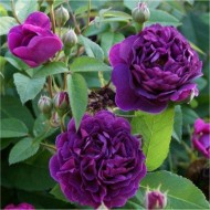 Rose Reine des Violetta - Hybrid Perpetual Bourbon Bush Rose