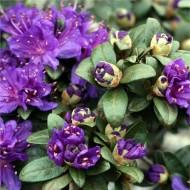 Rhododendron impeditum Dwarf Blue Silver