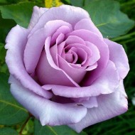Rose Blue Moon - Hybrid Tea Rose