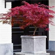 Large Specimen Acer palmatum dissectum Firecracker - Japanese Maple - Approx. 110-150cms
