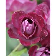 Rose Burgundy Ice - Floribunda Rose