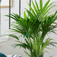 Howea forsteriana - KENTIA PALM - The best palm for indoors - 100cm Potted Plant