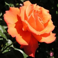 Rose Alexander - Hybrid Tea Rose