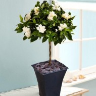 Magnificently Fragranced Topiary Standard Gardenia Tree in Bud and Bloom - LARGE 100cms SPECIMEN