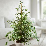 Ficus benjamina Twilight - Variegated Weeping Fig