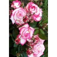 Large 6-7ft Climbin Rose - Rose Handel