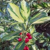 Ilex aquifolium Gold Flash - Holly