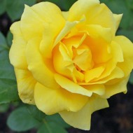 Rose Sunblest - Hybrid Tea Shrub Rose