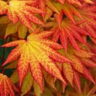 Acer shirasawanum Autumn Moon - Rare Japanese Full Moon Maple