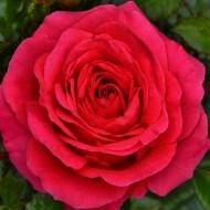 Rose My Dad - Floribunda Rose