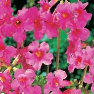 Incarvillea delavayi - Garden Gloxinia