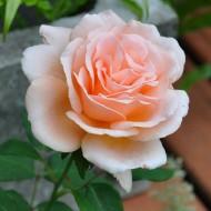 Rose Clodagh McGredy