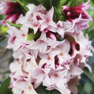 Daphne Perfume Princess - Worlds most fragrant Shrub - New Variety