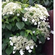 Hydrangea petiolaris - Climbing Hydrangea - 5-7ft Specimen Climber